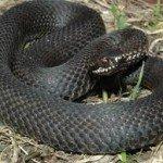 У Карпатах знову активізуються змії