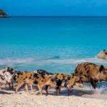 Острів свиней на Багамах